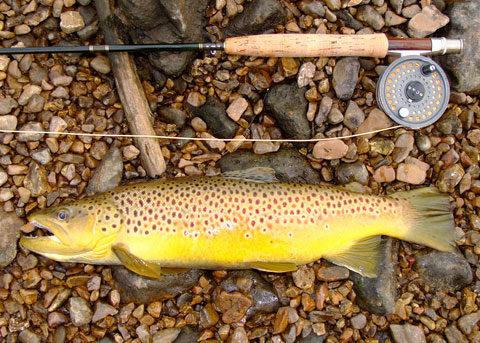 Brown Trout Fishing Australia
